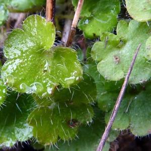 Photographie n°204981 du taxon Saxifraga granulata L.