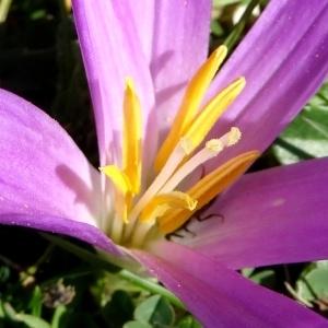 Merendera pyrenaica (Pourr.) P.Fourn. (Colchique des Pyrénées)