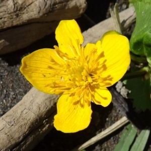 - Caltha palustris L.