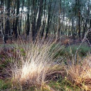 - Molinia caerulea (L.) Moench