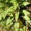 Alain Bigou - Digitalis purpurea subsp. purpurea