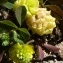 Ans Gorter - Trifolium campestre Schreb. [1804]