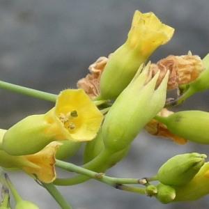 Nicotiana glauca Graham [1828] (Tabac arborescent)