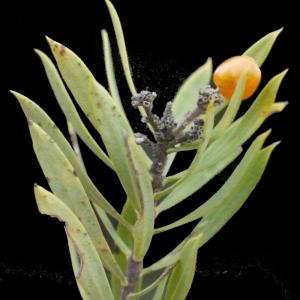 Photographie n°206191 du taxon Daphne gnidium L. [1753]