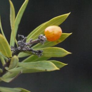 Photographie n°206194 du taxon Daphne gnidium L. [1753]