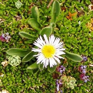 Erigeron uniflorus L. subsp. uniflorus (Vergerette à une fleur)