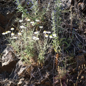 Photographie n°206393 du taxon Anthemis triumfetti (L.) DC. [1815]