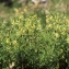 Liliane Roubaudi - Astragalus penduliflorus Lam. [1779]