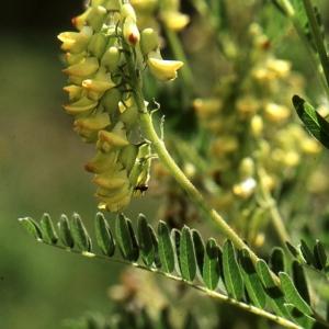 - Astragalus penduliflorus Lam. [1779]