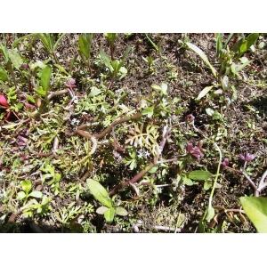 Apium inundatum (L.) Rchb.f. (Ache inondée)