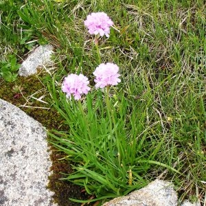 Photographie n°206588 du taxon Armeria alpina Willd. [1809]