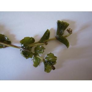 Potamogeton perfoliatus L. (Potamot à feuilles perfoliées)