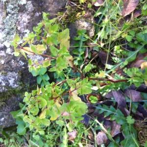Photographie n°206728 du taxon Euphorbia peplus L. [1753]