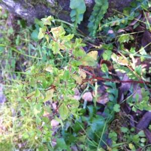 Photographie n°206731 du taxon Euphorbia peplus L. [1753]