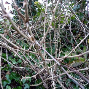 Photographie n°206781 du taxon Ribes uva-crispa L. [1753]