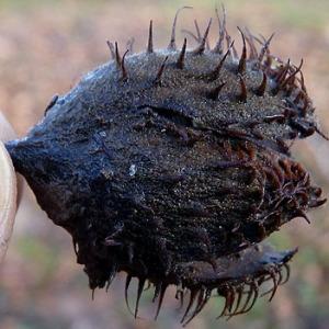 Photographie n°206815 du taxon Fagus sylvatica L.