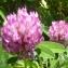 Ans Gorter - Trifolium medium