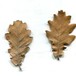 Photographie n°206932 du taxon Quercus pubescens Willd. [1805]