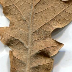Photographie n°206933 du taxon Quercus pubescens Willd. [1805]