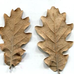 Photographie n°206934 du taxon Quercus pubescens Willd. [1805]