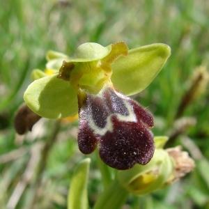 - Ophrys vasconica (O.Danesch & E.Danesch) P.Delforge [1991]
