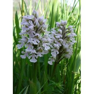 Neotinea conica (Willd.) R.M.Bateman (Orchis conique)