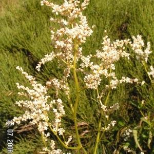 Photographie n°207047 du taxon Aconogonon alpinum (All.) Schur