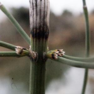 - Equisetum ramosissimum Desf.