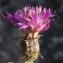 Liliane Roubaudi - Centaurea aspera L. [1753]
