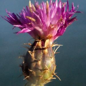 Centaurea aspera L. (Centaurée rude)