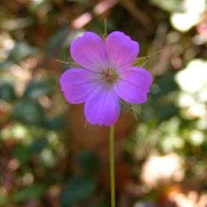 Photographie n°207184 du taxon Geranium columbinum L.