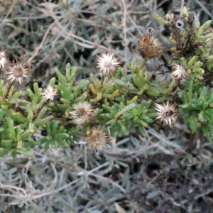 - Inula crithmoides L.