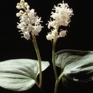 - Maianthemum bifolium (L.) F.W.Schmidt [1794]
