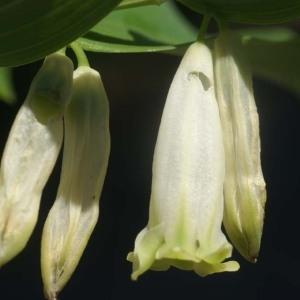Polygonatum odoratum (Mill.) Druce (Sceau-de-Salomon odorant)