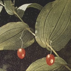 - Streptopus amplexifolius (L.) DC. [1805]