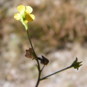 Photographie n°207402 du taxon Linum strictum L.