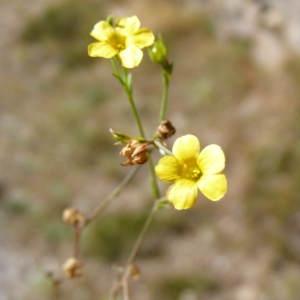Photographie n°207403 du taxon Linum strictum L.