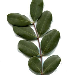 Photographie n°207409 du taxon Ceratonia siliqua L.