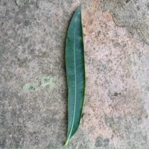 Photographie n°207464 du taxon Nerium oleander L. [1753]
