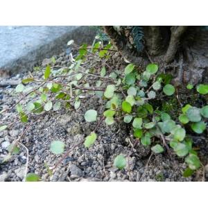 Muehlenbeckia complexa (A.Cunn.) Meisn. (Enredadera de alambre)
