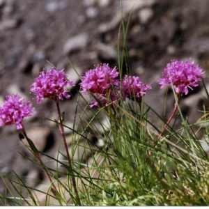 - Viscaria alpina (L.) G.Don