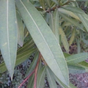 Photographie n°207591 du taxon Nerium oleander L. [1753]
