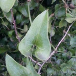 Photographie n°207592 du taxon Smilax aspera L. [1753]