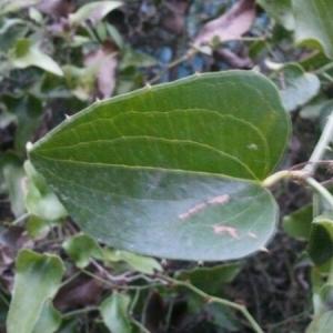 Photographie n°207593 du taxon Smilax aspera L. [1753]