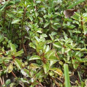 Photographie n°207728 du taxon Ludwigia palustris (L.) Elliott [1817]