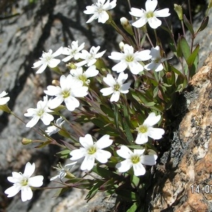 Photographie n°207749 du taxon Atocion rupestre (L.) B.Oxelman