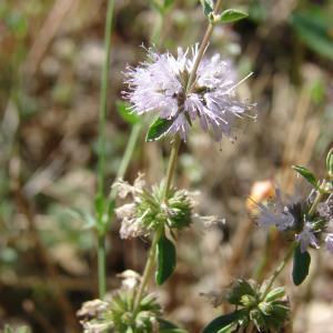 Mentha pulegium L. (Menthe pouliot)