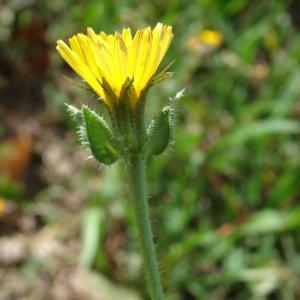 - Helminthotheca echioides (L.) Holub