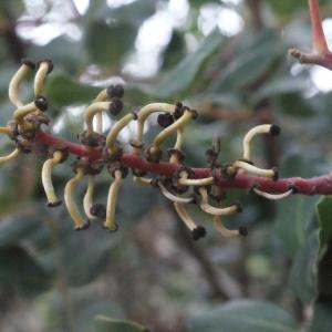 Photographie n°207830 du taxon Ceratonia siliqua L.
