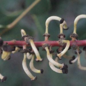 Photographie n°207832 du taxon Ceratonia siliqua L.